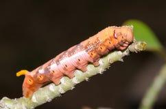 Big beautiful island worm on a stick. Stock Photos