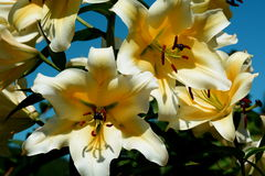 Big Beautiful Lily Blooms Royalty Free Stock Photos