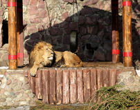 Big beautiful lion Royalty Free Stock Photos