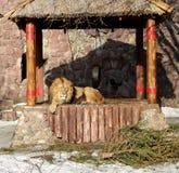 Big beautiful lion Stock Photos