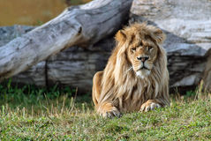 Big beautiful lion. Stock Photography