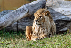 Big beautiful lion. Stock Photos