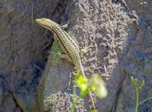 Big beautiful lizard. Sitting on a rock and basking on the sun stock photography