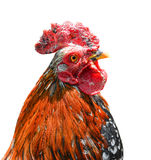 Big beautiful male rooster isolated on white background. Cock crowing in front of white background. Farm animals. Royalty Free Stock Photography