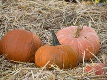 Halloween pumpkins in stray royalty free stock image