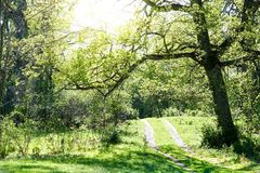 Big beautiful oak hanging over a small forest road stock image