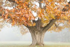 Big beautiful oak tree in autumn. landscape Royalty Free Stock Photography