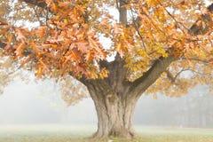 Big beautiful oak tree in autumn. landscape Royalty Free Stock Photography