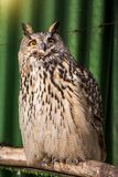 Big beautiful owl sitting on a branch. unblinking eyes. royalty free stock images