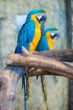 Big beautiful parrots couple Stock Photos