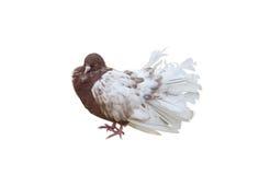 Big beautiful Pigeon bird Stock Photography