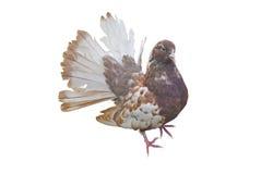 Big beautiful Pigeon bird Stock Photos