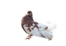 Big beautiful Pigeon bird Royalty Free Stock Photos