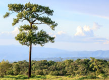 Big beautiful pine trees grow on big hill Stock Photos