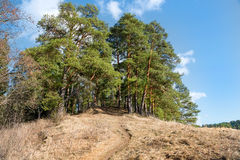 Big beautiful pine trees grow on the big hill Royalty Free Stock Photography