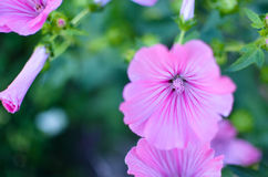 Big beautiful pink flowers of Lavatera closeup on the blurry background Stock Images