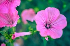 Big beautiful pink flowers of Lavatera closeup  Royalty Free Stock Photo