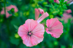 Big beautiful pink flowers ofLavatera closeup Stock Photos
