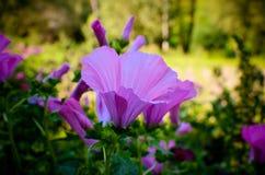 Big beautiful pink flowers ofLavatera closeup Royalty Free Stock Photo