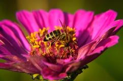 Big beautiful pink flowers ofLavatera closeup Stock Photography