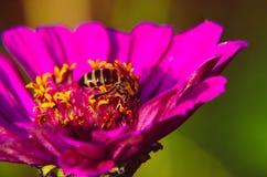 Big beautiful pink flowers ofLavatera closeup Royalty Free Stock Photography