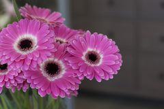Big beautiful pink gerbera flowers close up on brown background. Beautiful pink gerbera flowers close-up on brown background indoors store Royalty Free Stock Photography