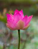 Big beautiful pink lotus. Stock Photos