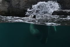 Big beautiful polar bear swimming in the ice cold water. Wonderful creature in the nature looking habitat. Endangered animals in captivity. Ursus maritimus Stock Photography