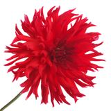 Big beautiful red dahlia flower isolated on white Stock Photo