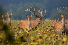 Big and beautiful red deer during the deer rut in Czech Republic royalty free stock image