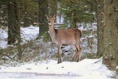 Big and beautiful red deer female during the deer rut in the nature habitat in Czech Republic, european animals, deer rut, deer-pa Royalty Free Stock Image