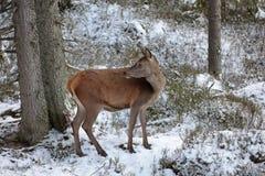 Big and beautiful red deer female during the deer rut in the nature habitat in Czech Republic, european animals, deer rut, deer-pa Stock Images