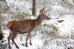 Big and beautiful red deer female during the deer rut in the nature habitat in Czech Republic, european animals, deer rut, deer-pa Royalty Free Stock Images
