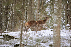Big and beautiful red deer female during the deer rut in the nature habitat in Czech Republic, european animals, deer rut, deer-pa Stock Photos