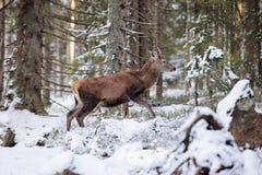 Big and beautiful red deer female during the deer rut in the nature habitat in Czech Republic, european animals, deer rut, deer-pa Stock Image