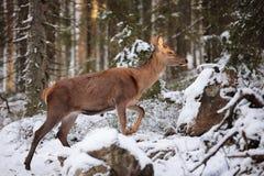 Big and beautiful red deer female during the deer rut in the nature habitat in Czech Republic, european animals, deer rut, deer-pa Stock Photo