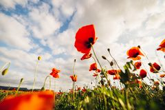 Big beautiful red poppies against the blue sky. Selective focus stock images
