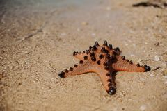 Big beautiful red starfish Royalty Free Stock Photos