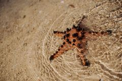 Big beautiful red starfish Royalty Free Stock Photo