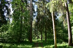 Big beautiful road tall green pine trees eating grass sky. In a pine forest. Bohr is fabulously beautiful. Pines, slender and tall, lined up like a parade royalty free stock images