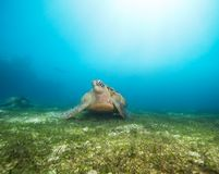 Big beautiful sea turtle Royalty Free Stock Photos