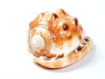 Big beautiful seashell Stock Photography