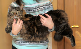 Big beautiful Siberian cat Royalty Free Stock Photos
