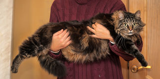 Big beautiful Siberian cat Stock Photos