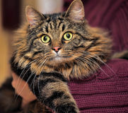 Big beautiful Siberian cat Royalty Free Stock Photo