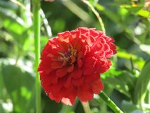 Big Beautiful Single Red Zinnia Closeup with Leafy Green Background stock photos