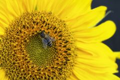 Big beautiful sunflower and bee Royalty Free Stock Image