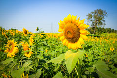 Big beautiful sunflower with green leavesclear nature Stock Image