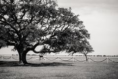 Large tree in black and white Stock Images