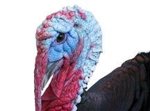 Big beautiful Turkey Stock Photography